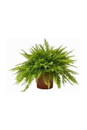 Palmiye Aşk Merdiveni (nephrolepis) Bitkisi