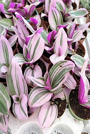 Sukulent Bitki Mor Yapraklı Telgraf Çiçeği