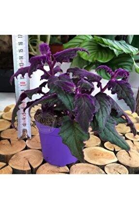 Gynura Aurantiaca Plant Doğal Kadife Pembe Yaprak Ev Ofis Bitkisi