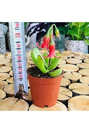 Cotyledon Elisa Succulent Çan Şeklinde Çiçek Açan Sukulent Bitki