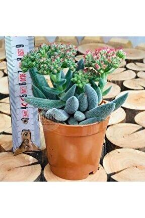 Crassula Mesembryanthemoides Gri Tüylü Çiçek Açan Sukulent