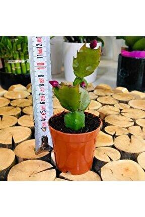 Schlumbergera Pembe Çiçek Açan Yılbaşı Sukulent Bitki