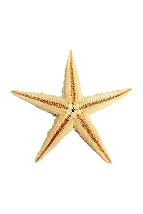 Natural Deniz Yıldızı 6 Cm - 9 CM