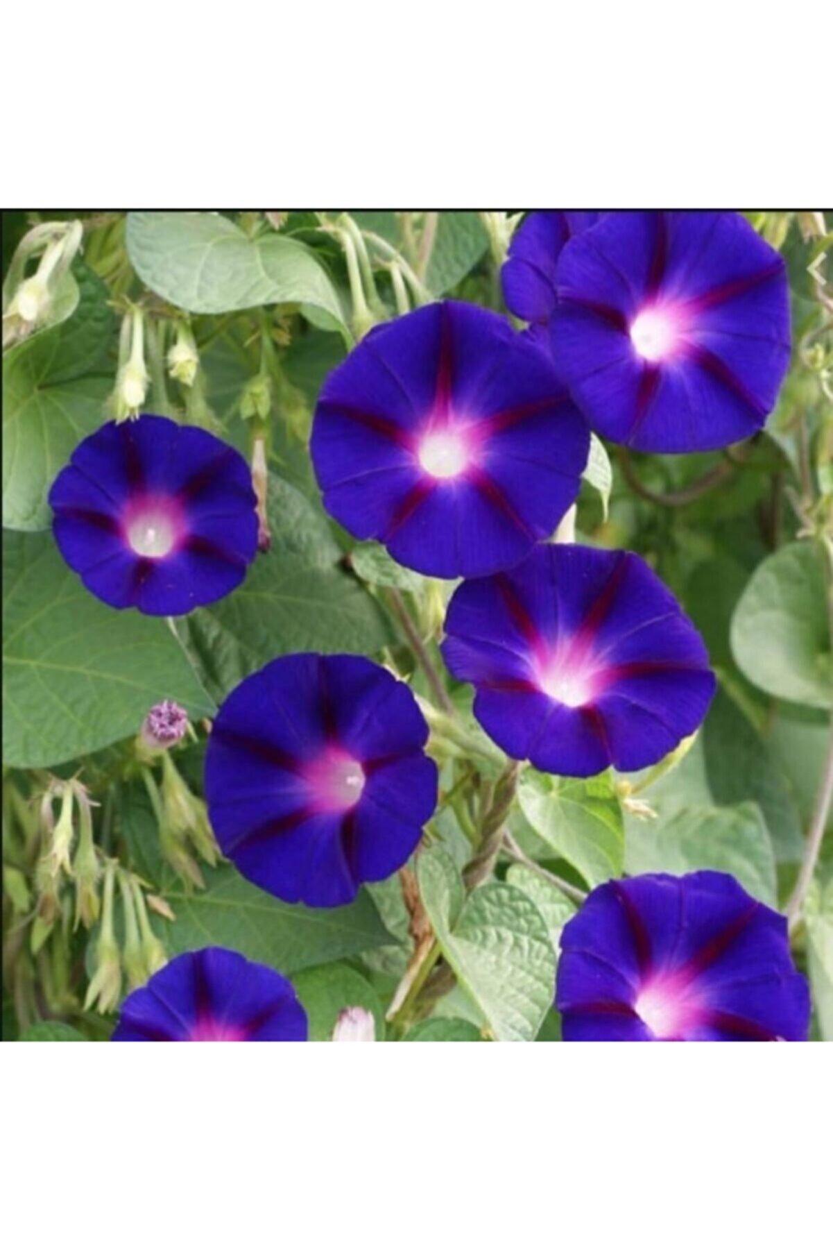 Meryem Tohumculuk Gündüz Sefası Çiçeği