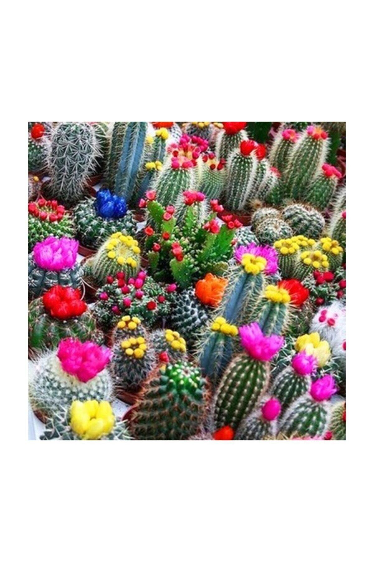 Bursa Tohumculuk 20 Adet Karışık Renkli Kaktüs Çiçeği Tohumu+gelişimini Hızlandıran Özel Gübre