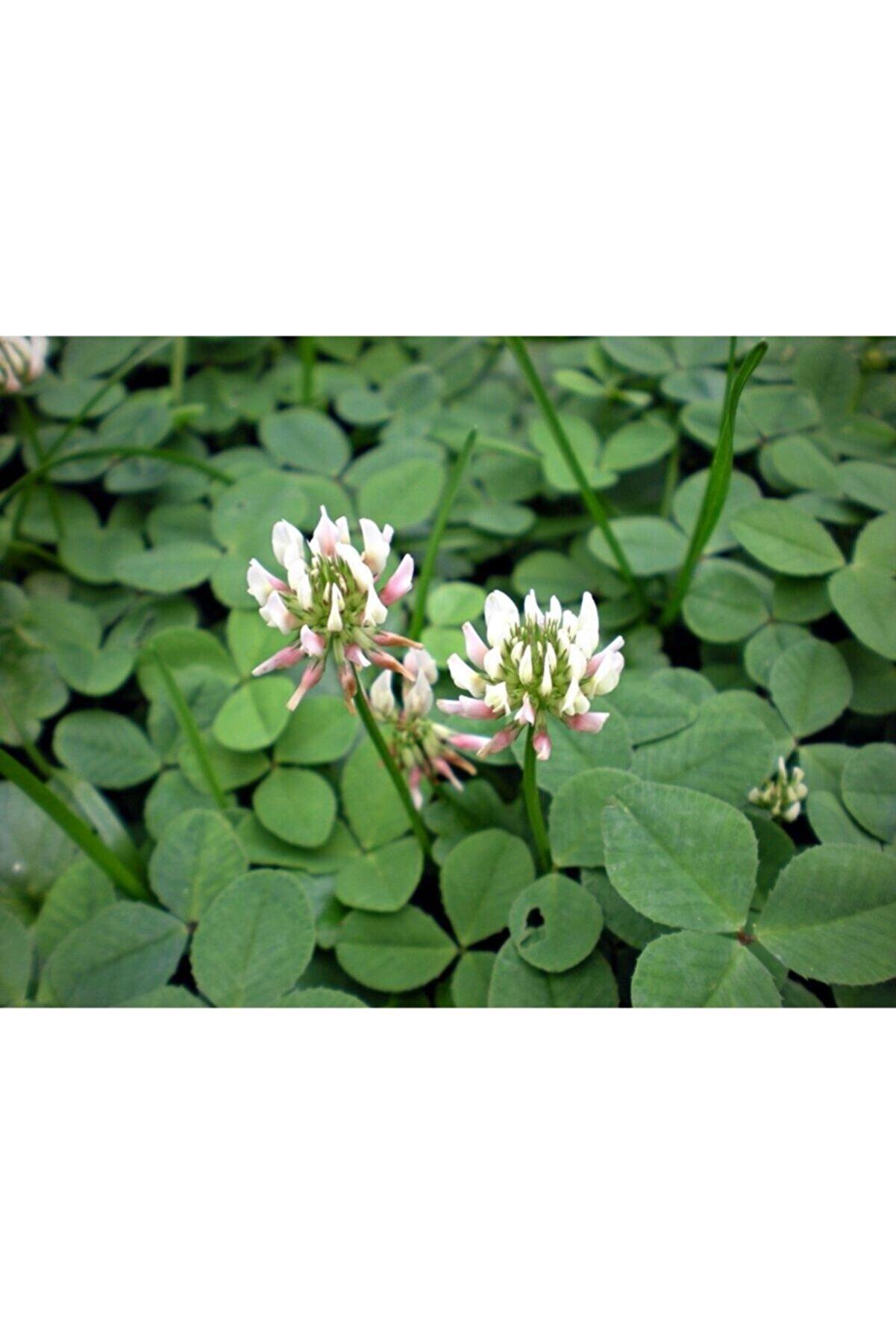 Doğalsan Tarım Ak Üçgül Tohumu 100 Gr Trifolium Repens Süs Yoncası Tohumu Bodur Yonca Tohumu Yonca Çim Tohumu