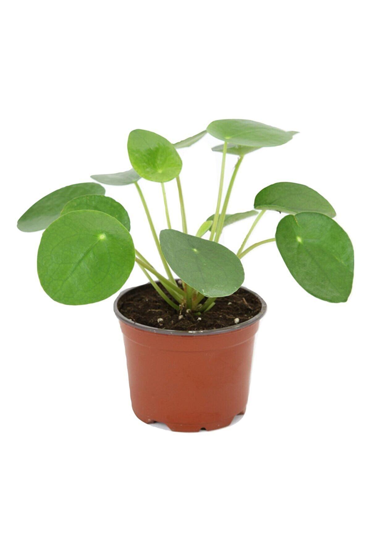 Cemre Garden Pilea Peperomioides - Çin Para Ağacı - Ev Ofis Salon Iç Mekan Bitkisi - Saksı Çapı 6 Cm