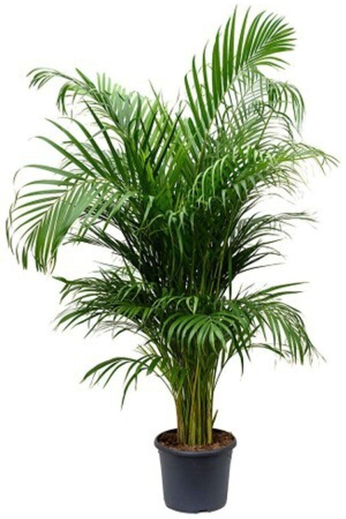 Orkide Pazarı Areka Palmiyesi Areca Lutescens 140 - 150 Cm