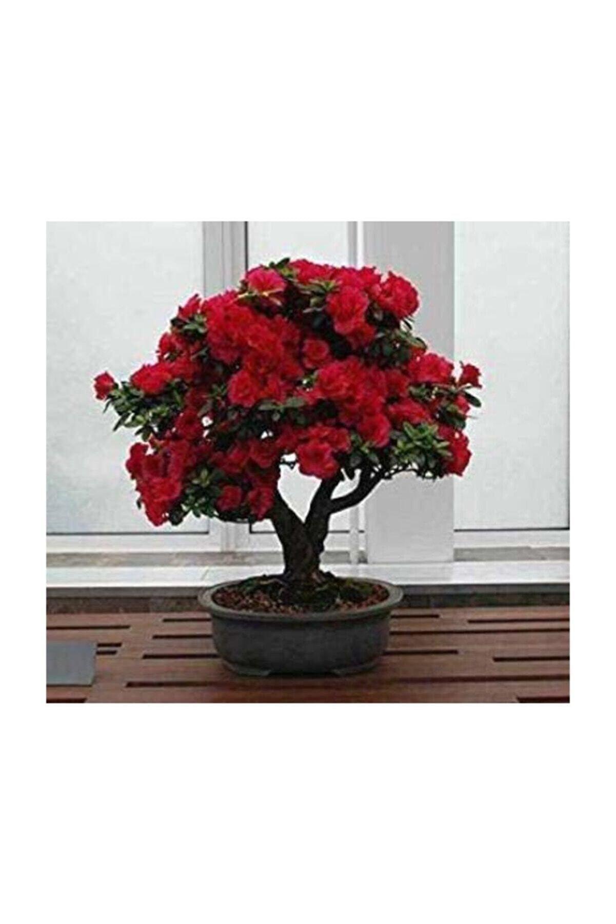 Çam Tohumculuk Bodur Kırmızı Gül Bonzai Ağacı Tohumu 5 Adet Tohum Bonsai Ağacı Tohumu