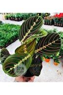 Özen Çiçekçilik Calathea Maranta Plant Çok Renkli Formlu Dua Çiçeği Ev Ofis Bitki