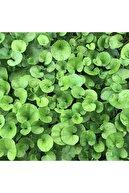 Doğalsan Tarım Fare Kulağı Tohumu 250 Gr Fare Kulağı Çim Tohumu Kundura Çimi Tohum Gölge Çimi Dichondra Repens