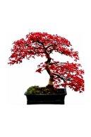 3M Bodur Acer Rubrum Bonzai Ağacı Tohumu 5 Adet Bonsai Ağacı Tohumu