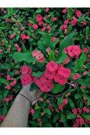 CRN TARIM Dikenler Tacı Çiçekli Ithal Hollanda Milli (KIRMIZI)