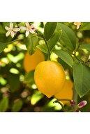 FİDAN SEPETİM 3 Yaş Aşılı 7 Veren(yediveren) Mayer Limon Fidanı