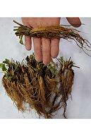 Ekodoğa Salkım Çilek 5 Adet Sarmaşık Çilek Fidesi Yediveren Çilek Çilek Fidanı Açık Köklü Fide Frigo Fide