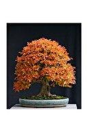 Çam Tohumculuk Liquidambar Bonsai Ağacı Tohumu 5 Adet Bonsai Ağacı Tohumu