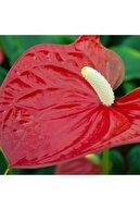 SalonBitkileri Antoryum Çiçeği 60 Cm