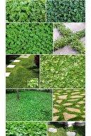 Doğalsan Tarım Fare Kulağı Tohumu 200 Gr Fare Kulağı Çim Tohumu Kundura Çimi Tohum Gölge Çimi Dichondra Repens