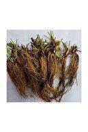 Ekodoğa Çilek Fidesi 40 Adet Rubygem Çeşidi Yediveren Çilek Çilek Fidanı Açık Köklü Fide Frigo Fide