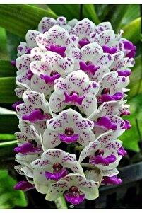 10 Adet Mor Ve Beyaz Desenli Orkide Çiçeği Tohumu