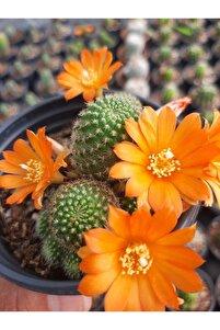 Rebutia Sarı Çiçek Açan Bol Yavrulu Kaktüs 5,5 Cm Saksıda