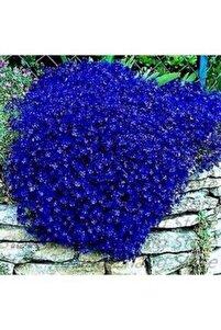 10 Adet Mavi Renkli Sarkan Lobelya Çiçek Tohumu