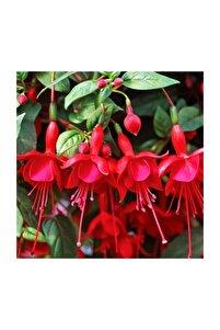 Karışık Küpeli Çiçeği Tohumu 5 Adet Tohum Çiçek Tohumu