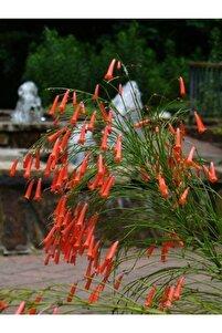 Kırmızı Mercan Çiçeği (russelia Equisetiformis)