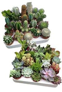 12 Adet Kaktüs Ve Sukulent Set Birbirinden Farklı Karışım Ve Canlı Bitkiler