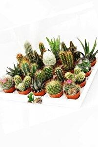 12 Adet Kaktüs Seti Birbirinden Farklı Karışım Canlı Bitkiler