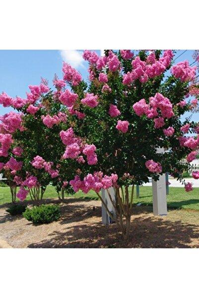 fidanciyiz 3 Adet Saksıda Pembe Çiçekli Oya Ağacı (boy 1m)