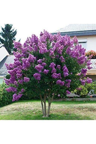 Evimdeki Bahçem Mor Çiçekli Oya Ağacı Fidanı