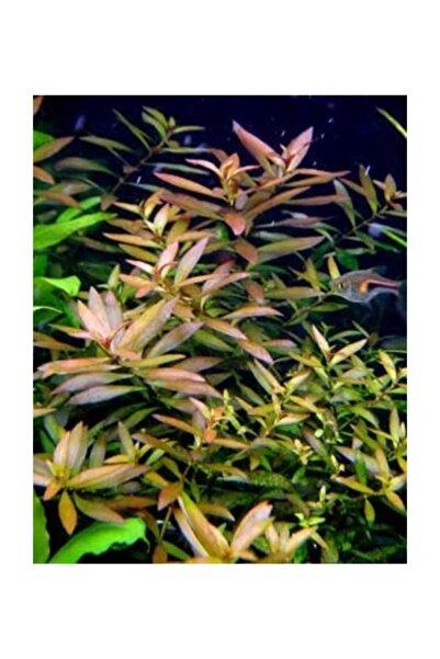 BIO AQUATIC Ludvigia Narrow Leaf Akvaryum Bitkisi Üç Kök