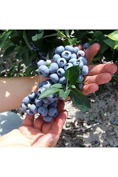 Floramut Tüplü Lipaka Bonus Blueberry Yaban Mersini Fidanı