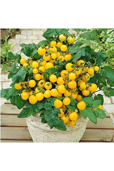 3M Saksılık Sarı Kiraz Domates Tohumu
