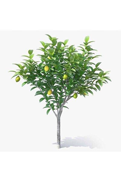 Hepsibahçemden Jumbo Saksılı Mayer Limon Fidanı Ağacı +5 Yaş