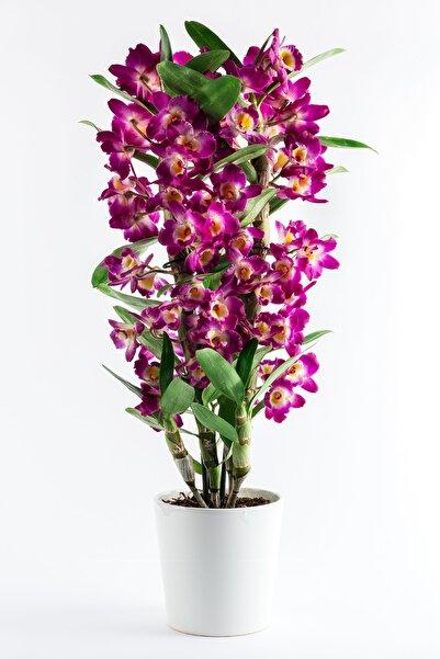 Bizim Bahçe Çiçekçilik Mor Dendrobium Bambu Orkide Çiçeği
