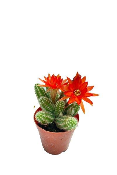 Sukulent Bahçem Chamaecereus Silvestrii - 5,5 Cm Saksıda Kırmızı Çiçek Açan Kaktüs