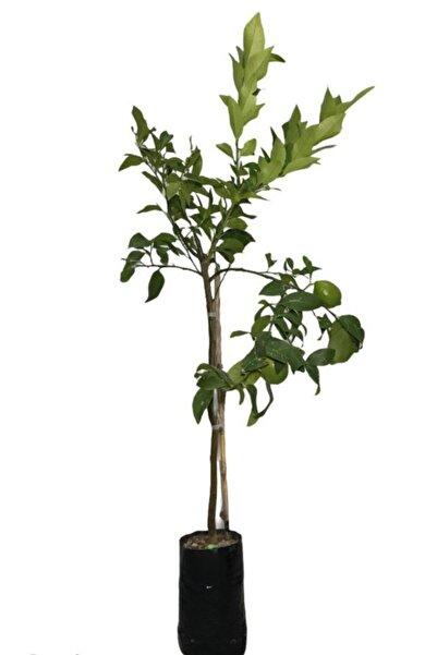 EVİM BAHÇEM Limon Fidanı Aşılı Limon Ağacı Fidanı( Çiçekli ) Limon Fidanı 100-120 Cm 2 Ila 3 Yaş