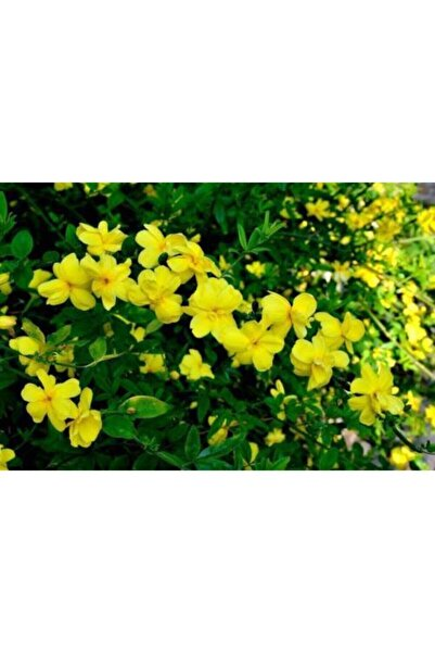 ruzgarbotanik Sarı Yasemin Çiçeği Fıdanı 70 cm Saksılı