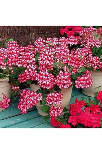 GARDENYA TOHUMCULUK 10 Adet Alacalı Sakız Sardunya Çiçek Tohumu