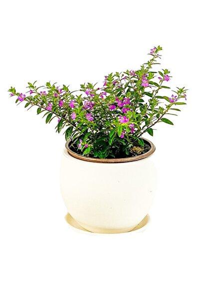 Fidanburada Kufeya Cennet Çiçeği Mor - Cuphea Hyssopifolia 20-30cm