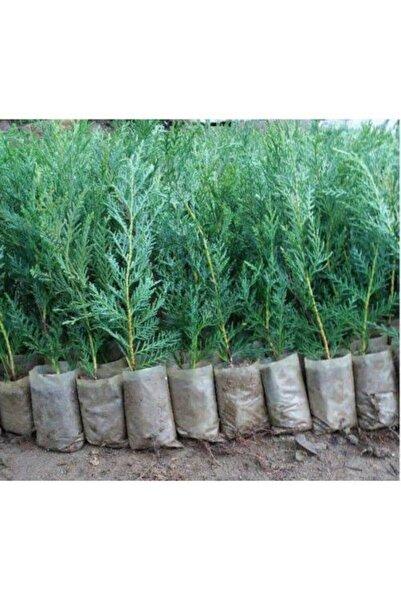 lalaahmetbotanik 40 Adet Küçük Torbada Leylandi Fidanı (çit Çamı) 15-25cm. Yetiştirmek Için
