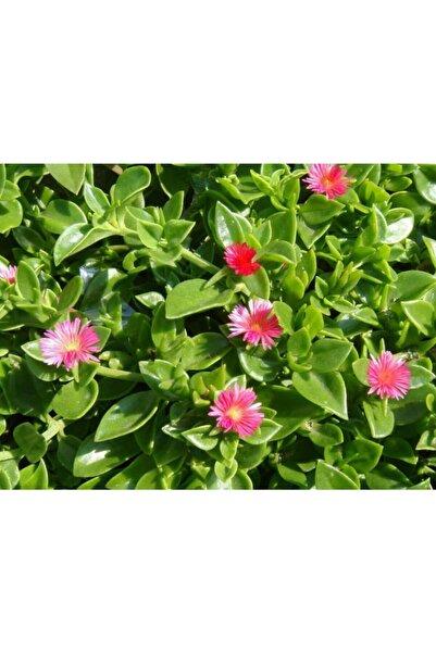 Tunç Botanik Buz Çiçeği - Mezarlık Kabir Çiçeği 45 Adet