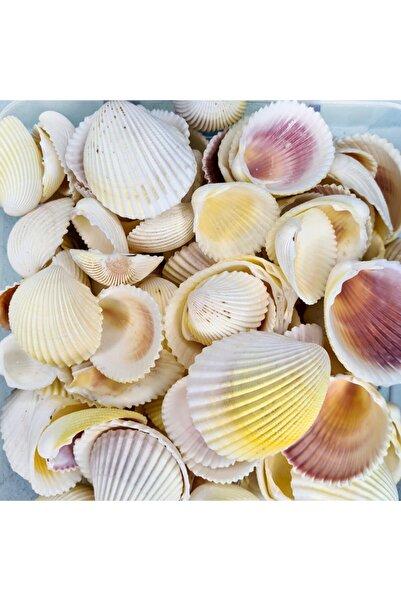 Turkuaz hediyelik Gerçek Deniz Kabuğu 250 Gr Paket Fragum Fragum