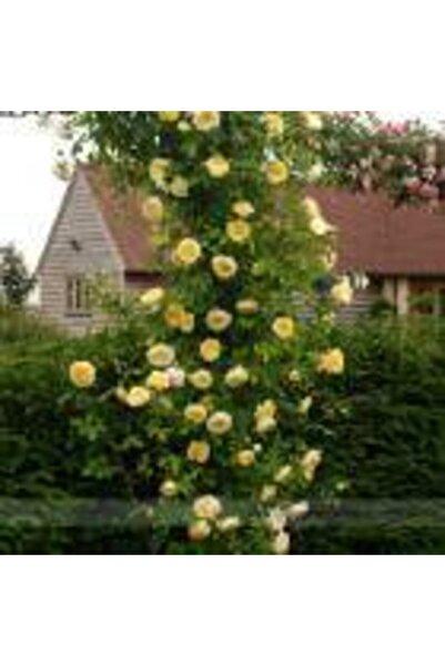 taşkar peyzaj Sarı Kokulu Sarmaşık Gül Fidanı 100 cm