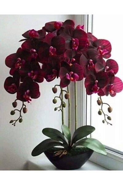 NANDİNA BOTANİK Kadife Kırmızı Renkli Orkide Çiçeği Tohumu-10 15adet