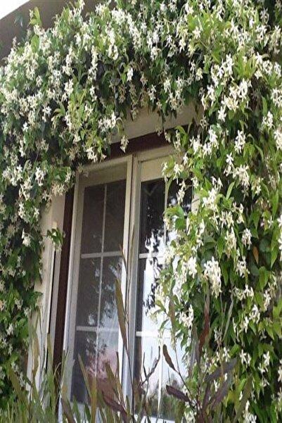 e-fidanci Star Arap Yasemini,Rhyncospermum jasminoides +100 cm Saksıda