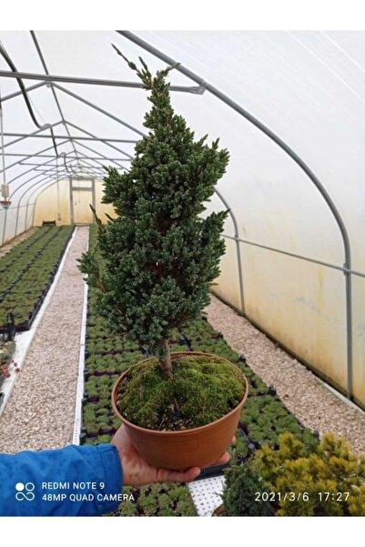 bakan tarım Bonzai Ağacı