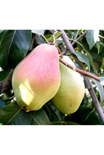 / Aşılı Meyve Fidanları